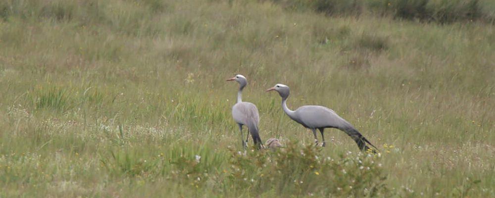Blue Crane Family